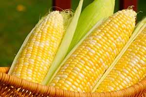 Sjemenski kukuruz